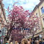Cireșii înfloriți de la Bonn – o altă dorință îndeplinită